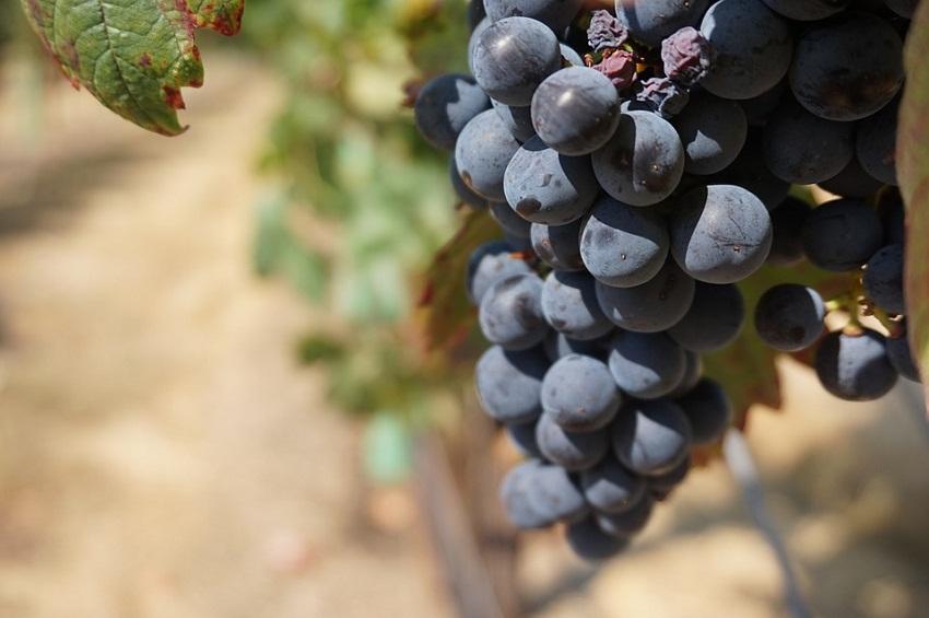 Faktori koji uticu na ukus vina